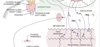 Thyroid Functions, Tests, and Diseases
