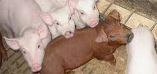 2012 Swine NRC Update: Non-ruminant nutrition symposium